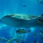 Акулы Чёрного моря: их виды и опасны ли они для человека